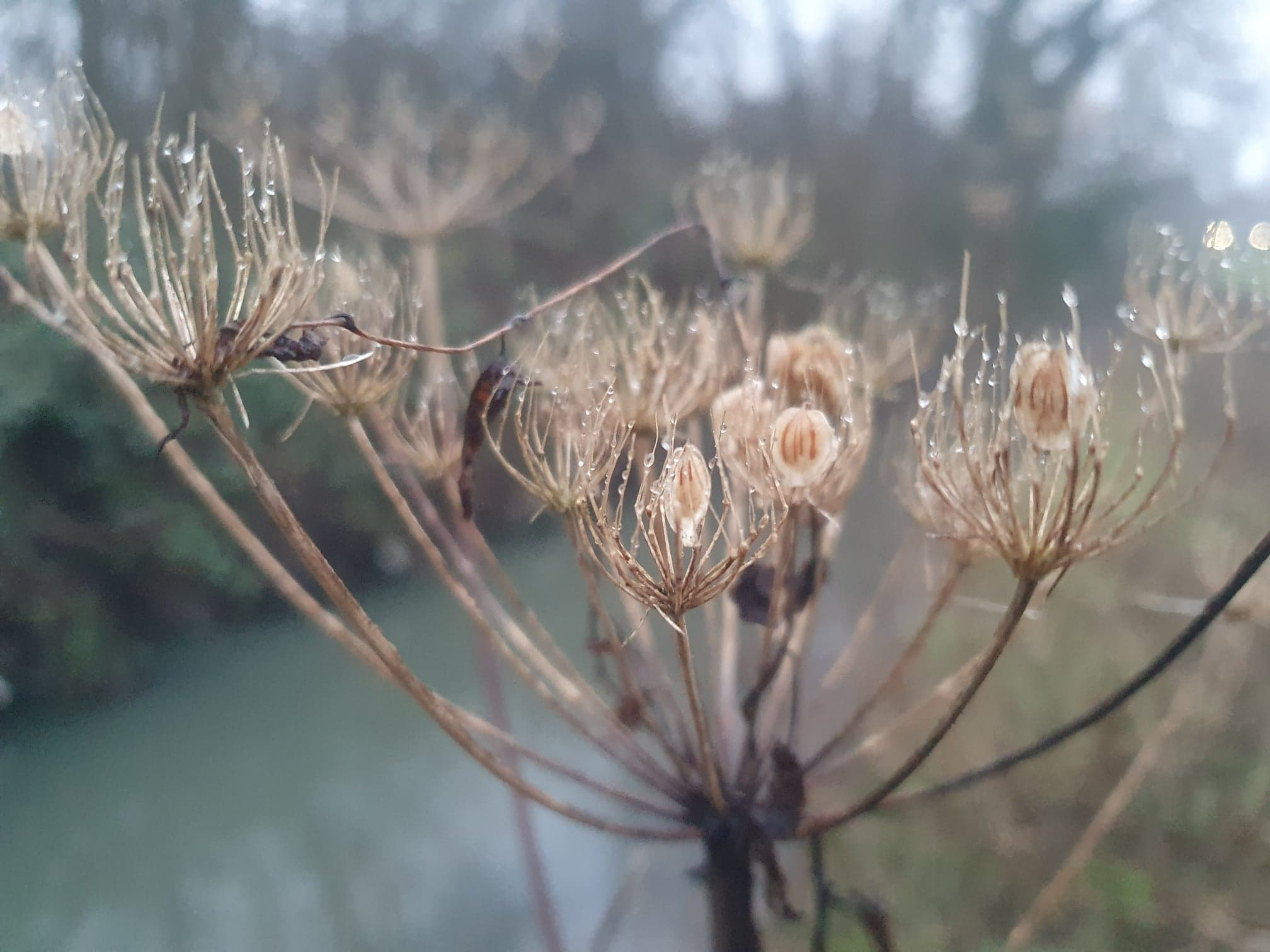 Common Hogweed Seeds